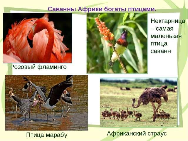 Саванны Африки богаты птицами. Розовый фламинго Африканский страус Птица мара...