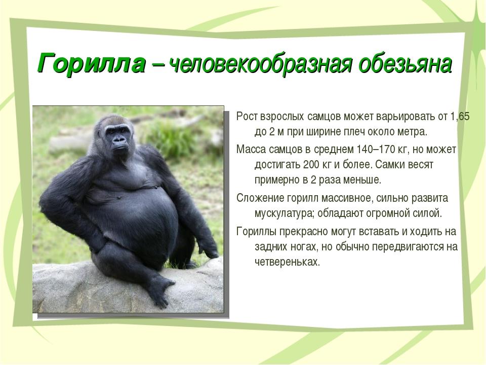 Горилла – человекообразная обезьяна Рост взрослых самцов может варьировать от...