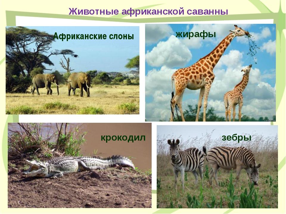 Животные африканской саванны Африканские слоны жирафы крокодил зебры