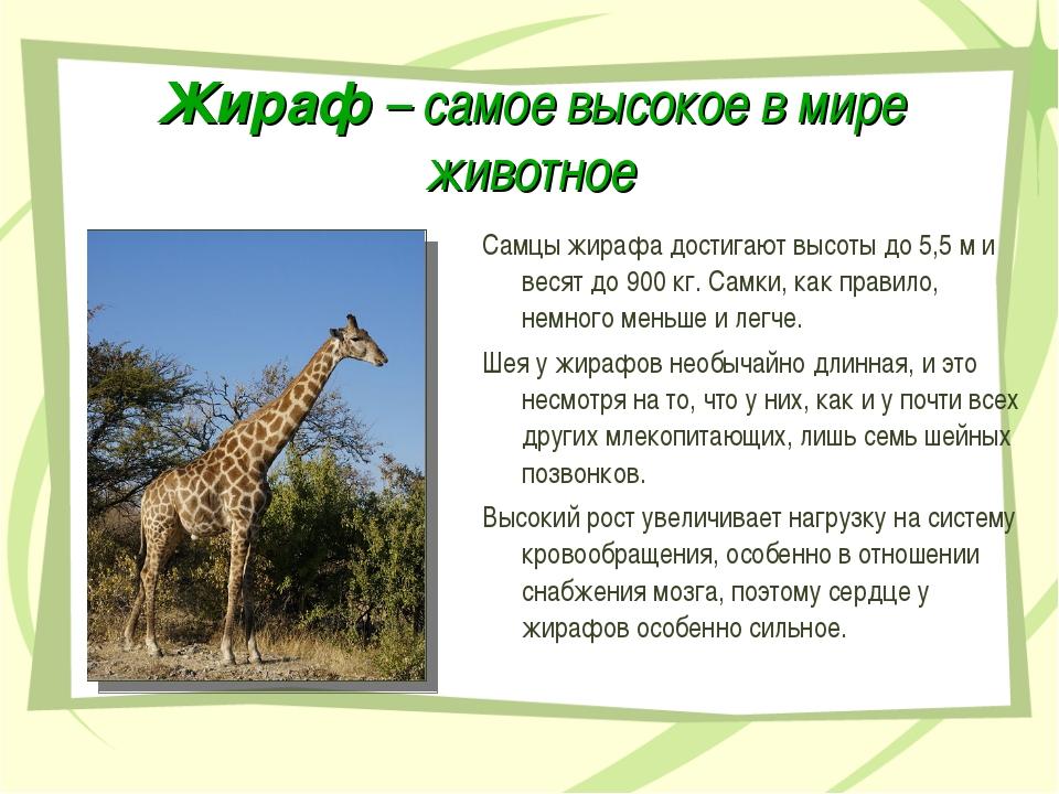 Жираф – самое высокое в мире животное Самцы жирафа достигают высоты до 5,5 м...