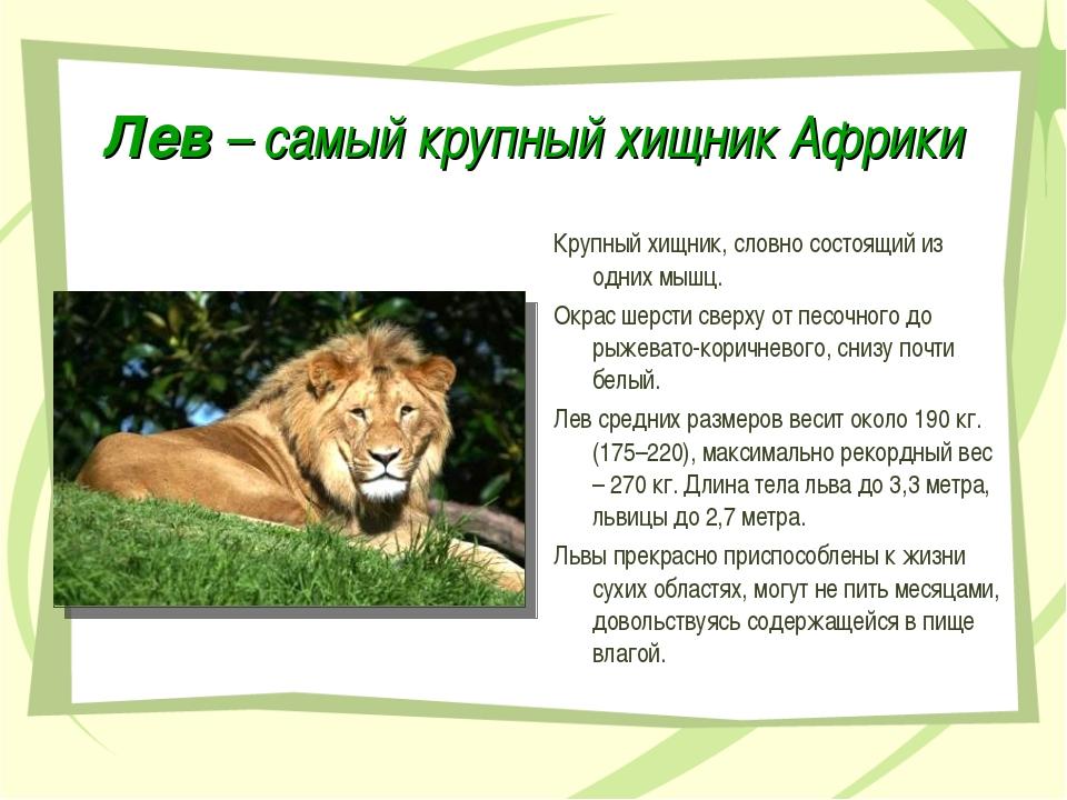 Лев – самый крупный хищник Африки Крупный хищник, словно состоящий из одних м...