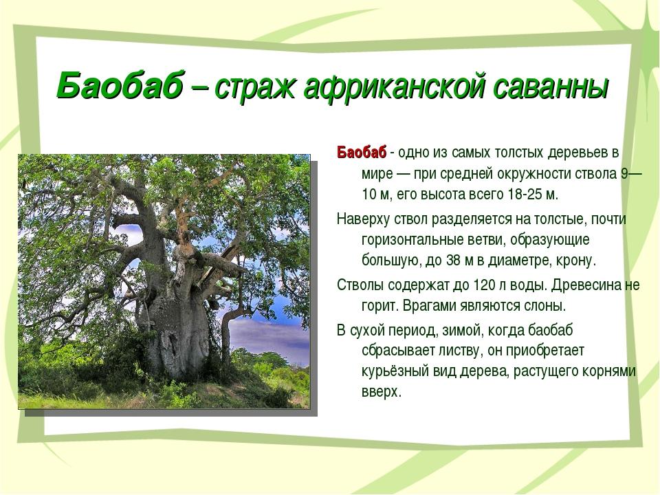 Баобаб – страж африканской саванны Баобаб - одно из самых толстых деревьев в...