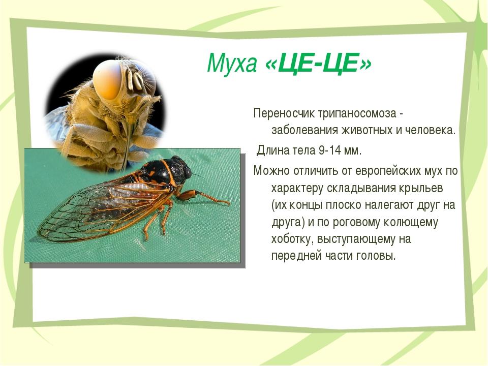 Муха «ЦЕ-ЦЕ» Переносчик трипаносомоза - заболевания животных и человека. Длин...