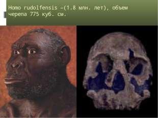 Homo rudolfensis –(1.8 млн. лет), объем черепа 775 куб. см.