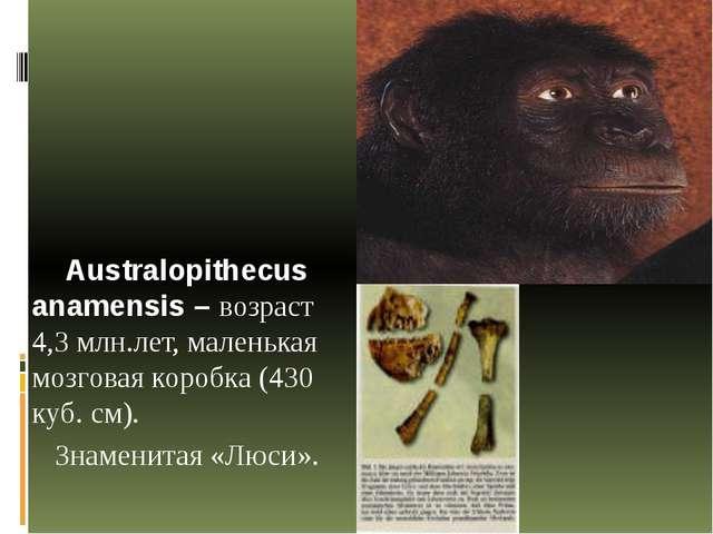 Australopithecus anamensis – возраст 4,3 млн.лет, маленькая мозговая коробка...