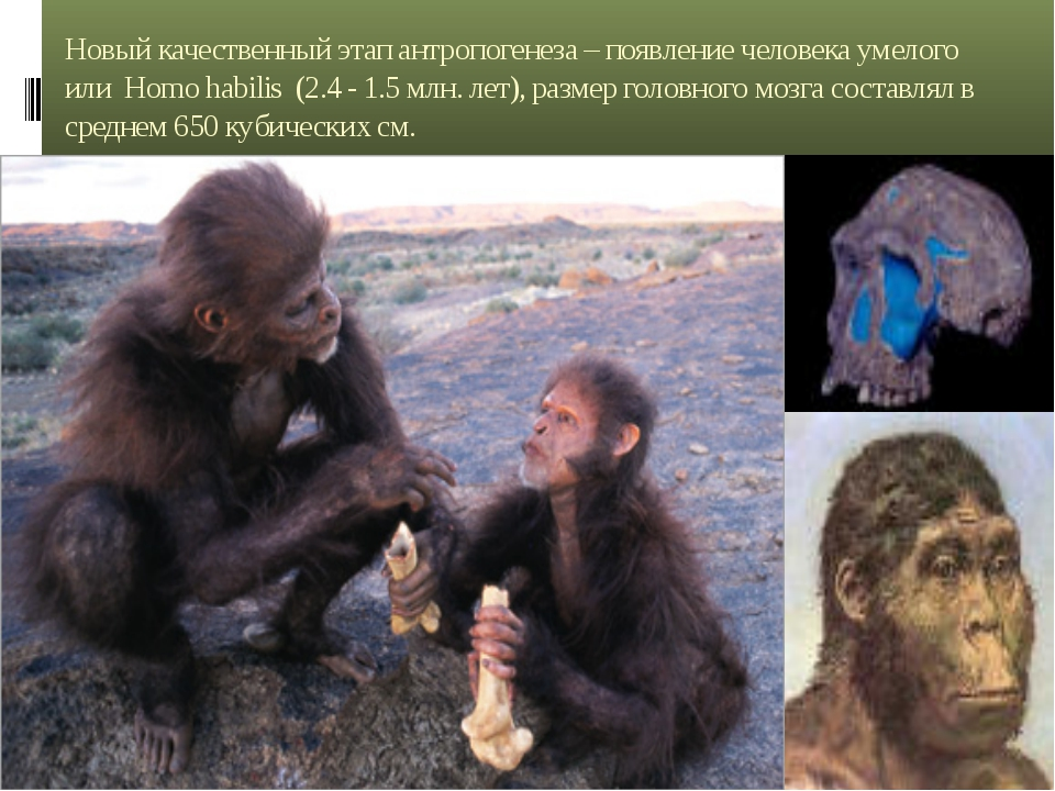 Новый качественный этап антропогенеза – появление человека умелого или Homo h...
