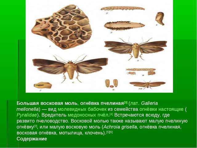Большая восковая моль, огнёвка пчелиная[3] (лат.Galleria mellonella)— вид м...