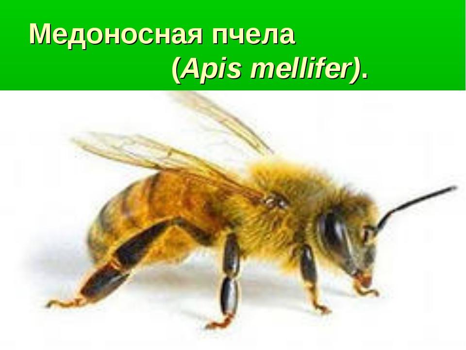 Медоносная пчела (Apis mellifer).