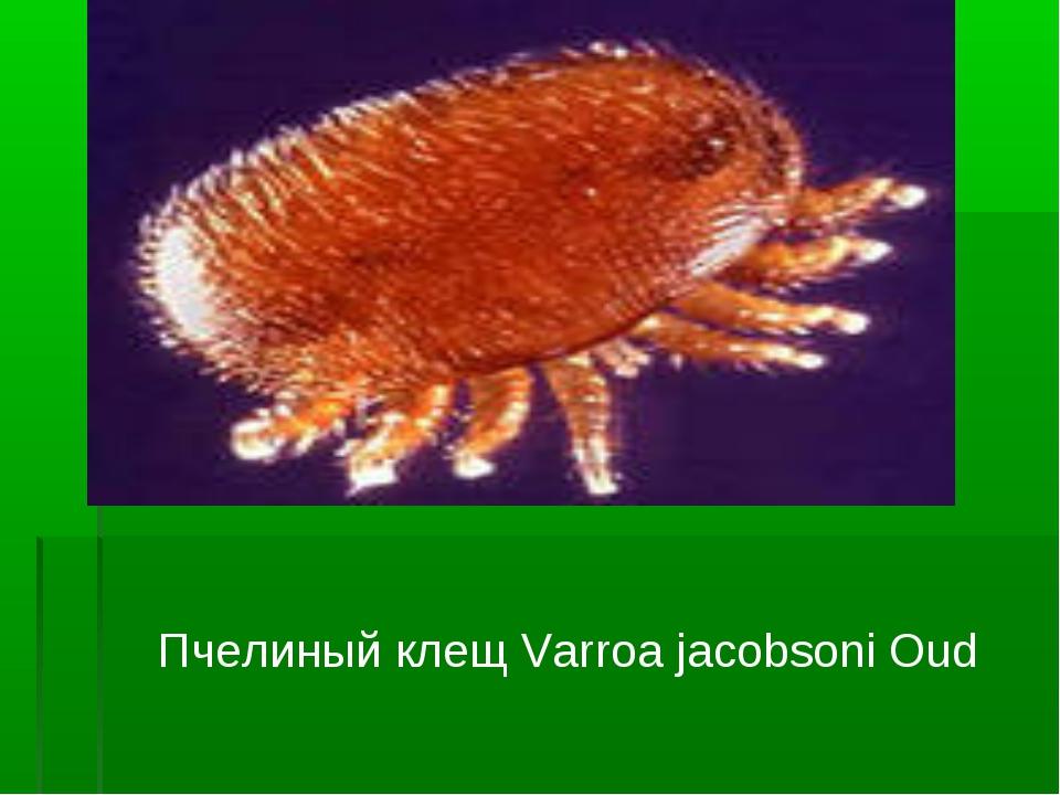 Пчелиный клещ Varroa jacobsoni Oud