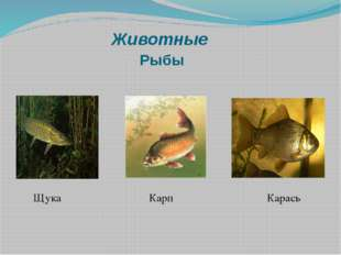 Животные Рыбы Щука Карп Карась