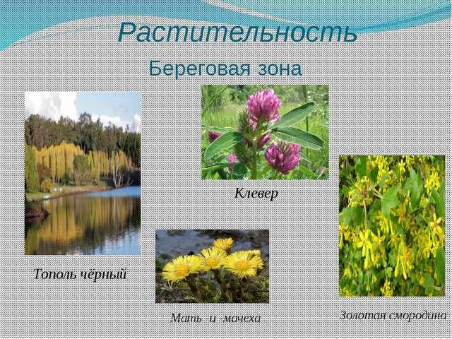 Растительность Береговая зона Тополь чёрный Мать -и -мачеха Клевер Золотая с...