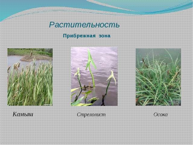 Растительность Прибрежная зона Камыш Стрелолист Осока