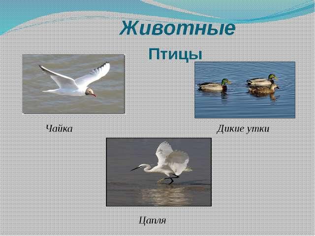 Животные Птицы Чайка Дикие утки Цапля