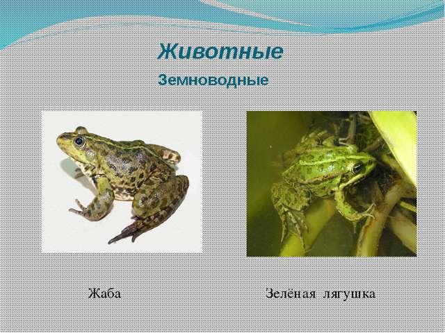 Животные Земноводные Жаба Зелёная лягушка