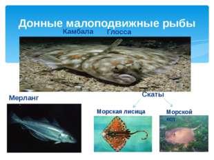 Донные малоподвижные рыбы Камбала Мерланг Скаты Морской кот Морская лисица Гл