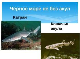 Черное море не без акул Катран Кошачья акула