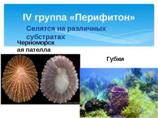 IV группа «Перифитон» Черноморская пателла Селятся на различных субстратах Гу