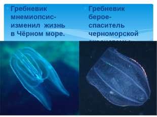 Гребневик мнемиопсис- изменил жизнь в Чёрном море. Гребневик берое-спаситель