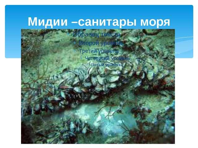 Мидии –санитары моря