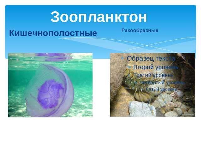 Ракообразные Кишечнополостные Зоопланктон