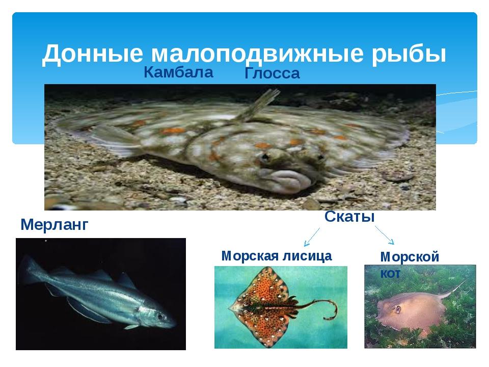 Донные малоподвижные рыбы Камбала Мерланг Скаты Морской кот Морская лисица Гл...