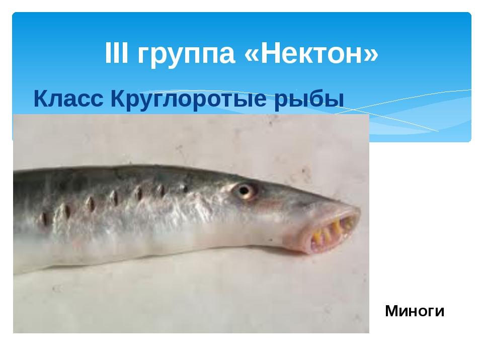 III группа «Нектон» Класс Круглоротые рыбы Миноги