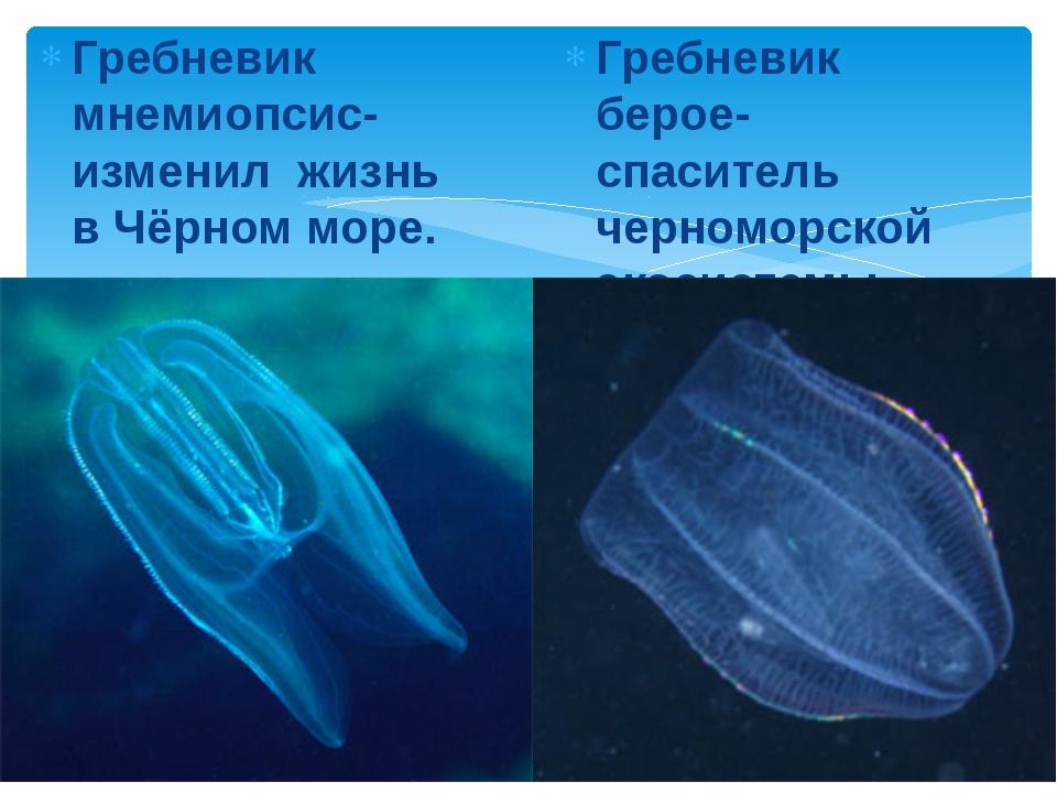 Гребневик мнемиопсис- изменил жизнь в Чёрном море. Гребневик берое-спаситель...