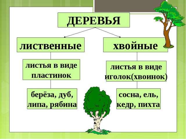 ДЕРЕВЬЯ лиственные хвойные листья в виде пластинок листья в виде иголок(хвоин...