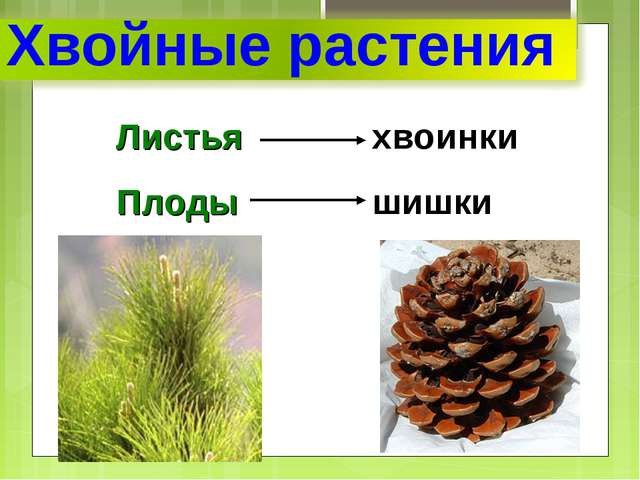 Листьяхвоинки Плодышишки