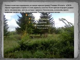 Еловые аллеи еще сохранились, но сильно заросли травой. Ученики 10 класса в 2