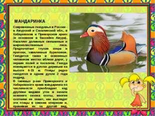 МАНДАРИНКА Современные гнездовья в России - в Амурской и Сахалинской обл., в