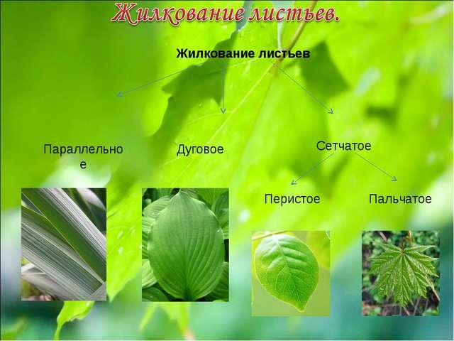 Жилкование листьев Параллельное Дуговое Сетчатое Перистое Пальчатое
