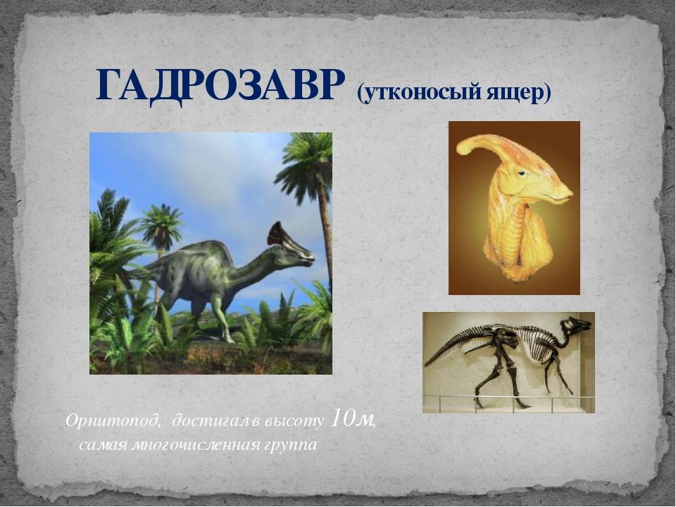 ГАДРОЗАВР (утконосый ящер) Орнитопод, достигал в высоту 10м, самая многочисл...