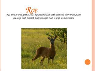 Roe Roe deer, or wild goat is a not big graceful deer with relatively short