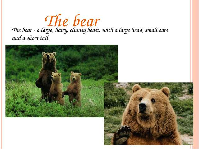 The bear The bear - a large, hairy, clumsy beast, with a large head, small e...