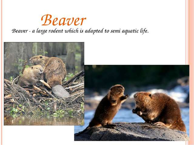 Beaver Beaver - a large rodent which is adapted to semi aquatic life.