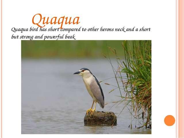 Quaqua Quaqua bird has short compared to other herons neck and a short but s...
