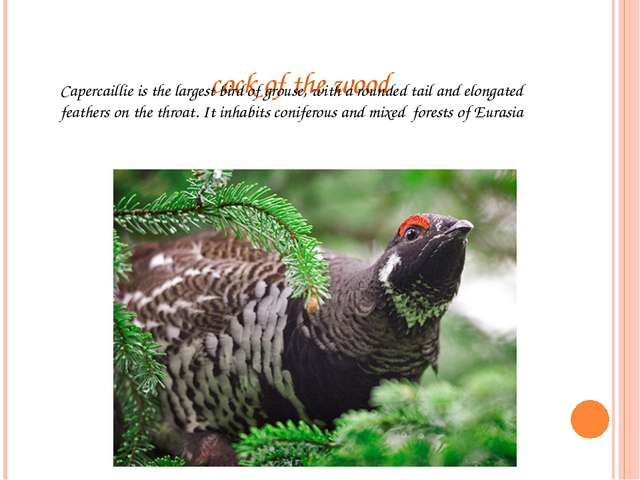 cock of the wood Capercaillie is the largest bird of grouse, with a rounded t...