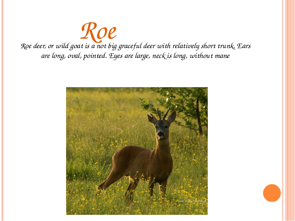 Roe Roe deer, or wild goat is a not big graceful deer with relatively short...