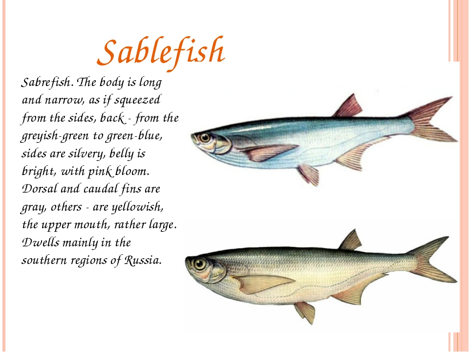 Sablefish Sabrefish. The body is long and narrow, as if squeezed from the si...