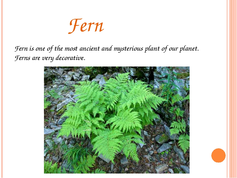 Fern Fern is one of the most ancient and mysterious plant of our planet. Fer...