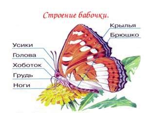 Строение бабочки.