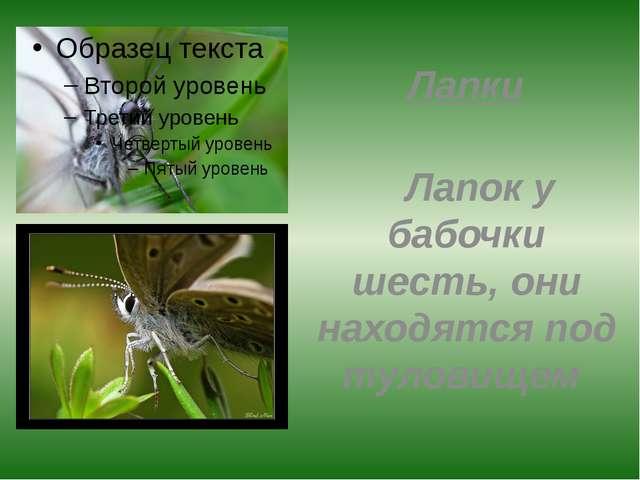 Лапки Лапок у бабочки шесть, они находятся под туловищем