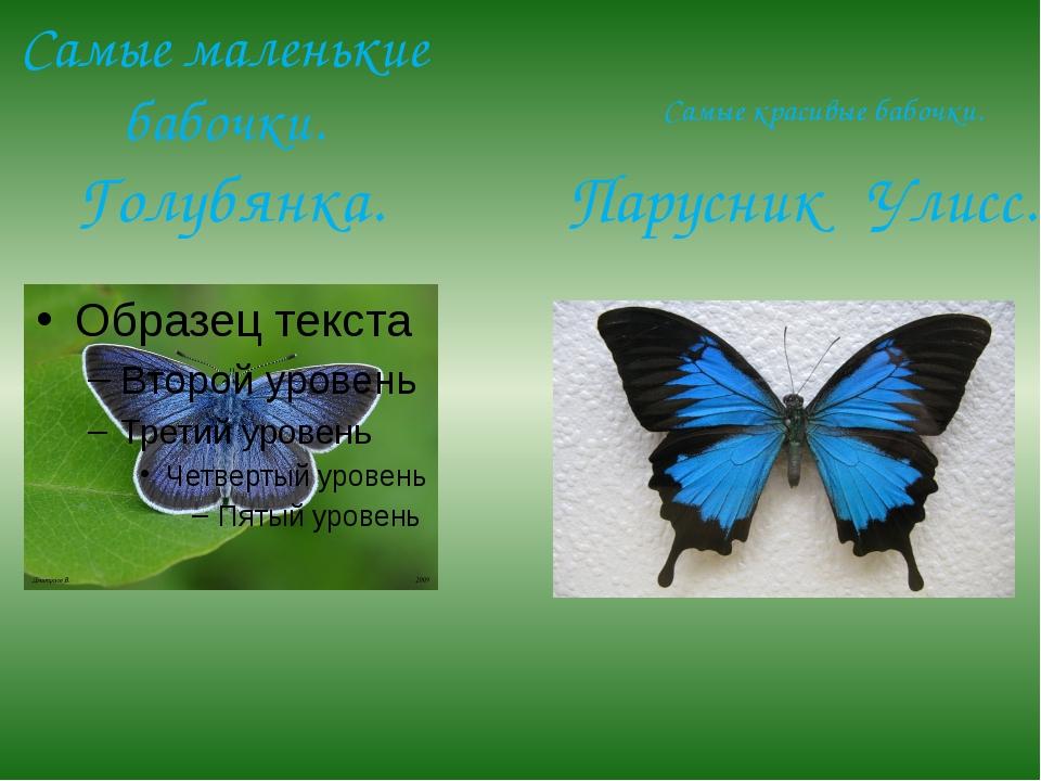 Самые маленькие бабочки. Голубянка. Самые красивые бабочки. Парусник Улисс.