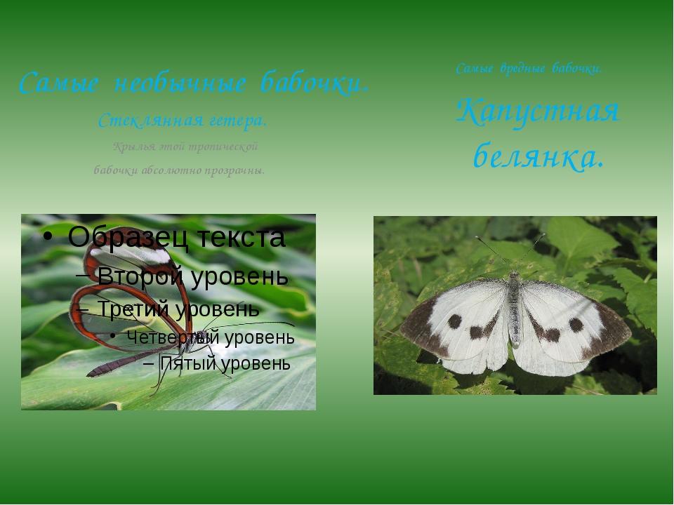 Самые необычные бабочки. Стеклянная гетера. Крылья этой тропической бабочки а...