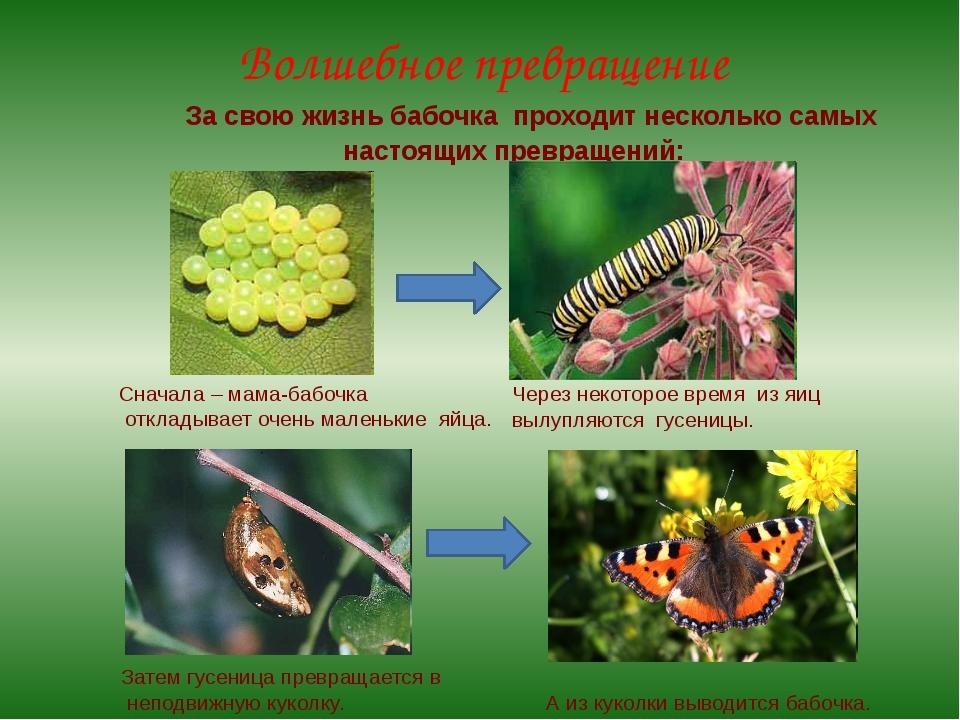 За свою жизнь бабочка проходит несколько самых настоящих превращений: Сначал...