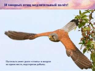 И хищных птиц медлительный полёт! Пустельга умеет долго «стоять» в воздухе на