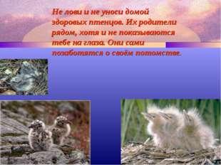 Не лови и не уноси домой здоровых птенцов. Их родители рядом, хотя и не показ