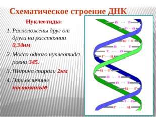 Схематическое строение ДНК Нуклеотиды: Расположены друг от друга на расстояни