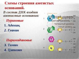 Схемы строения азотистых оснований. В состав ДНК входят азотистые основания: